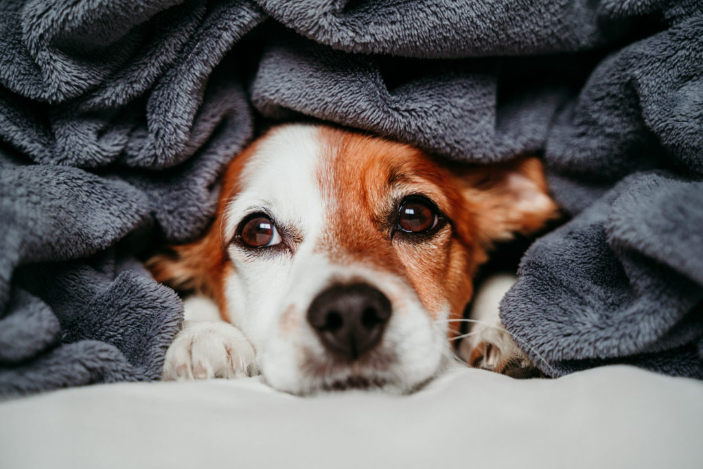 puppy hiding under grey blanket because it is cold inside